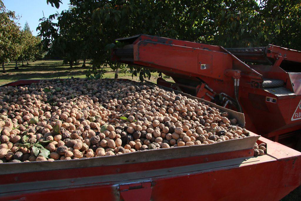 tree nut harvesting